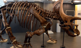 triceratops ICP