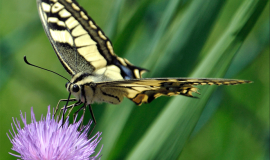Papilio-machaon_01